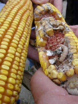 Maçarocas - Milho GM Bt e milho convencional com fungos e broca