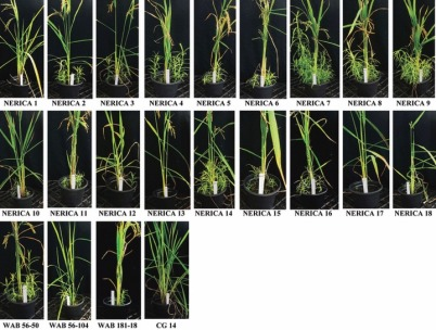 figure-4-striga-hermonthica-emergence-in-new-rice-for-africa-nerica-cultivars