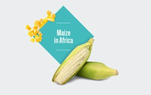 Front-cover-maize-300x188