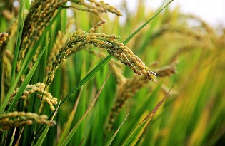 in-rice-field-site INSA - ITQB