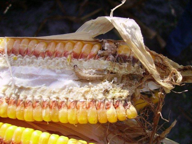 Maçaroca de milho convencional com ataque de broca e fungos - CiB (2)