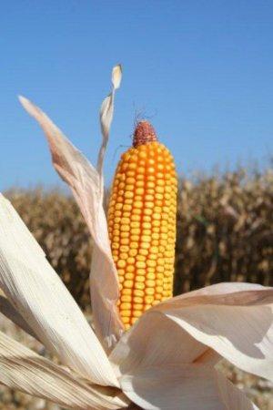 Macaroca Milho Bt Mon810 (OGM) - FotoCiB