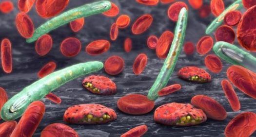 fungo malária