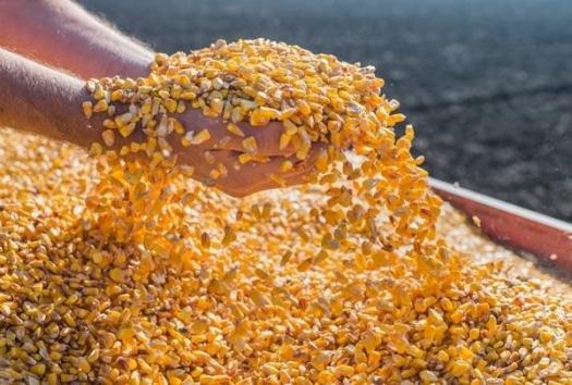graos de milho