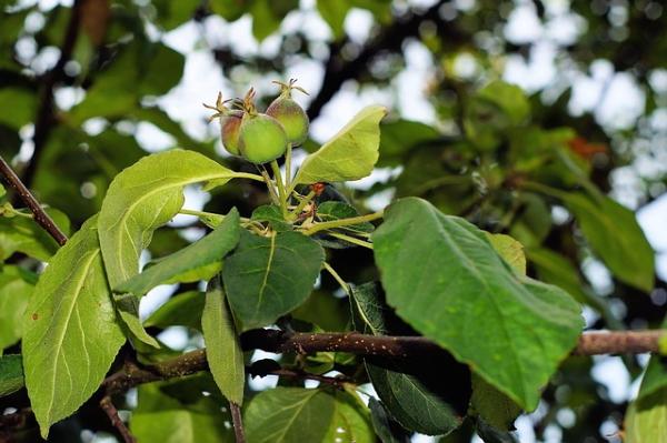 apple-tree-356935_640