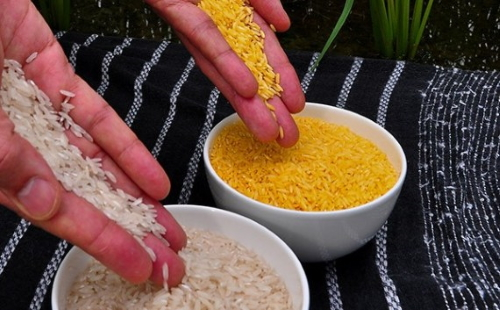 arroz-dourado-GR2E-Golden-Rice